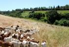 Goats clearing land near San Francisco